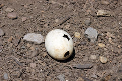 Ostrich egg Stock Photography