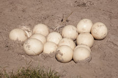 Ostrich Egg Nest Royalty Free Stock Photos
