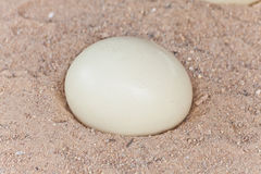 Ostrich egg on sand Stock Image