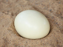 Ostrich egg  (Struthio camelus) Royalty Free Stock Photography