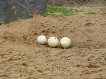Ostrich eggs Royalty Free Stock Photos