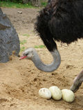 Ostrich with eggs Royalty Free Stock Photo