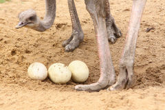 Ostrich with eggs Royalty Free Stock Photography