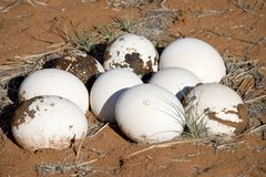 Ostrich eggs. Big ostrich eggs on desert Royalty Free Stock Photography
