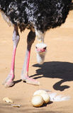 Ostrich with eggs eggs in the Klein Karoo, South Africa Stock Photo