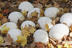 Ostrich Eggs. Nest of ostrich eggs in the leaves Stock Photos