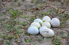 Ostrich Eggs on a sandy nest. Pile of Ostrich eggs on a sandy nest of low vegetation Royalty Free Stock Photography