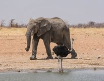 Ostrich And Elephant. An Ostrich and an Elephant at a watering hole in the Namibian savanna stock photos