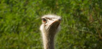 Ostrich emotion Stock Image