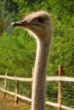 Ostrich emotion Stock Photos