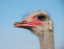 Ostrich emotions. Portrait of a funny ostrich close-up Royalty Free Stock Photo