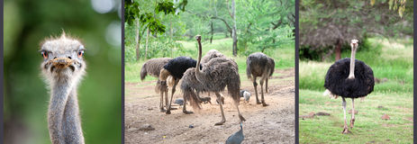 Ostrich emu.Close up. In a sunny day Royalty Free Stock Photos