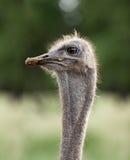 Ostrich emu head. Close up Stock Images