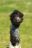 Ostrich Emu. The head of Ostrich Emu Stock Photos