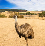 Ostrich emu in Phillip island wildlife park Stock Photo