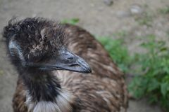 ostrich EMU with tuft royalty free stock images