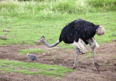 Ostrich emu under a drizzle Royalty Free Stock Photography