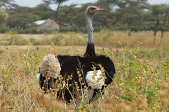 Ostrich, Ethiopia, Africa. Male of Somali Ostrich, Ethiopia, Africa Royalty Free Stock Image