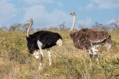 Ostrich, in Etosha, Africa wildlife safari. Big bird, Ostrich family, male and female, Struthio camelus in natural habitat Etosha, Namibia wildlife safari royalty free stock photo