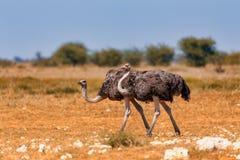 Ostrich, in Etosha, Africa wildlife safari royalty free stock image