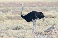 Ostrich - Etosha, Namibia Stock Photos
