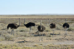 Ostrich - Etosha, Namibia. Ostrich, on the plains, Etosha National Park, Namibia Royalty Free Stock Photography
