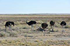 Ostrich - Etosha, Namibia. Ostrich, on the plains, Etosha National Park, Namibia Stock Photos