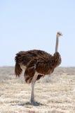 Ostrich on the Etosha Pan - full frame royalty free stock image