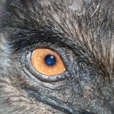 Ostrich eye Royalty Free Stock Photo