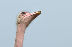 Ostrich eye. Close-up of a an African ostrich's  head with focus on the eye Stock Photography