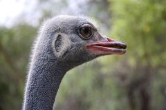 Ostrich Eye Royalty Free Stock Photography