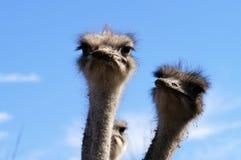ostrich för 2 lantgård Royaltyfri Fotografi