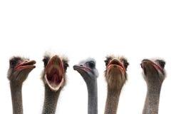 ostrich för fem huvud Royaltyfri Fotografi