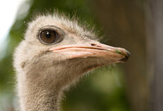 Ostrich face. A full photo of a ostrich face, close-up Stock Photography
