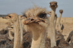 Ostrich face Royalty Free Stock Image