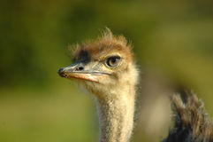 Ostrich face. Head portrait of a young female African Ostrich chick watching other Ostriches in a game reserve in South Africa Stock Photos
