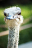 Ostrich face Stock Photos