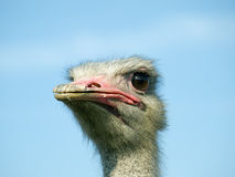 Ostrich face. Closeup of funny Ostrich face on a clear sky background Royalty Free Stock Images