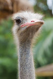 Ostrich face close up Royalty Free Stock Photography