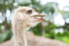 Ostrich face Royalty Free Stock Photography