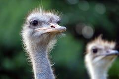 Ostrich face Stock Photos