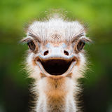 Ostrich face close up. Close-up of ostrich`s face Stock Photo