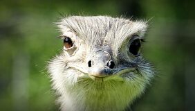 Ostrich Face during Daytime Stock Photo