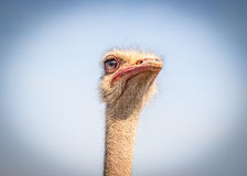 Ostrich face isolated against blue sky Royalty Free Stock Photo