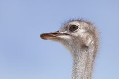 An Ostrich face Stock Images