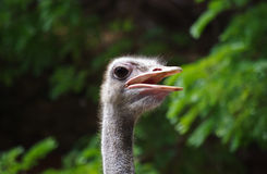 Ostrich face. In my farming Royalty Free Stock Photo