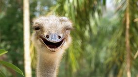 Ostrich face smiling in the jungle. Thailand