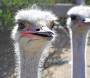 Ostrich Faces. Ostrich farm, California scientific name, Camelus, these unique birds can not fly but are fast runners Stock Photo