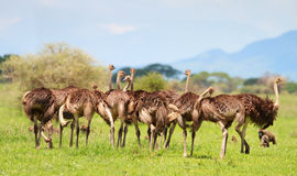 Ostrich family Stock Photos