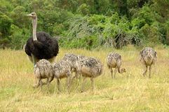 Ostrich family. A male ostrich with his little chicks grazing in a game reserve in South Africa Royalty Free Stock Photo